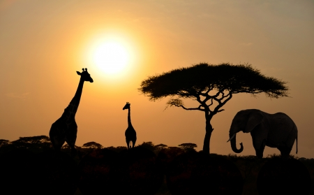 african animals: Giraffes and Elephant Silhouettes with Acacia tree with Sunset on Safari in Serengeti National Park in Tanzania - Africa