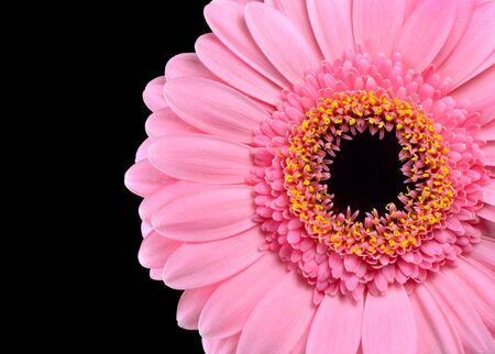 Pink Gerbera Marigold Macro Close-up Isolated on Black Background Stock Photo - 17131990