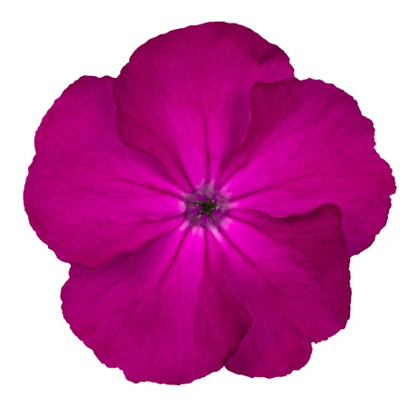 Macro of Purple Pinks Dianthus wild flower Isolated on white background 写真素材