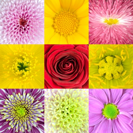 Collection of Nine Various Flowers Macros including Rose, Daisy, Osteospermum, Chrysanthemum, Marigold and other Wild Flowers photo