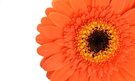 Orange Gerbera Flower Part Isolated on White Background Stock Photo - 17576985