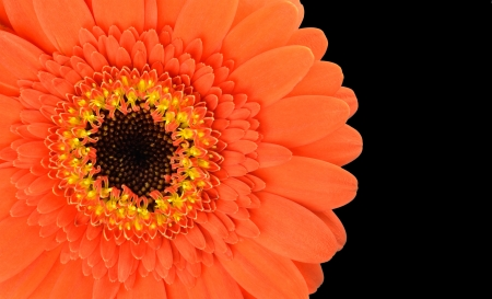Orange Gerbera Flower Part Isolated on Black Background Stock Photo - 17718725
