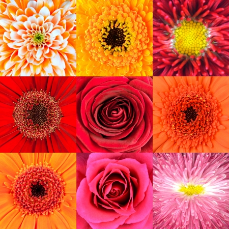 Collection of Nine Various Red Flower Macros including Rose, Daisy, Osteospermum, Chrysanthemum, Marigold and other Wild Flowers photo