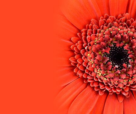 Red Gerbera Flower with Gradient to Red Background photo