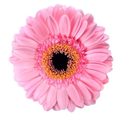Pink Gerbera Flower Macro with Black centerIsolated on White Background