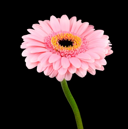Pink Gerbera Flower with Green Stem Isolated on Black Background