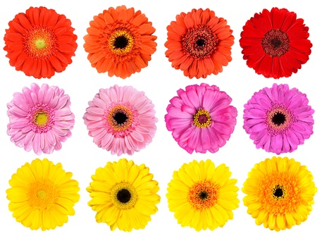 Big Collection of Fresh Orange, Red, Pink, Yellow and White Gerbera Flowers  Isolated on White Background