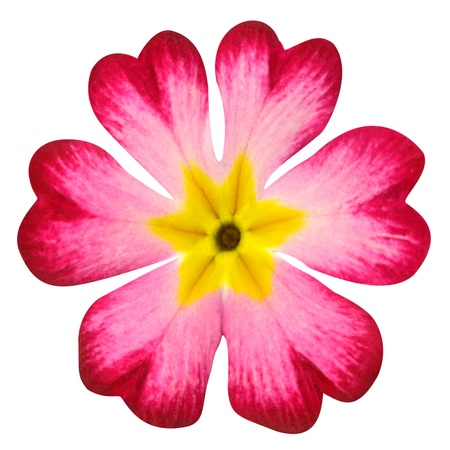 primula: Pink Primrose Flower with Yellow Center Isolated on White Background  Macro Closeup Stock Photo