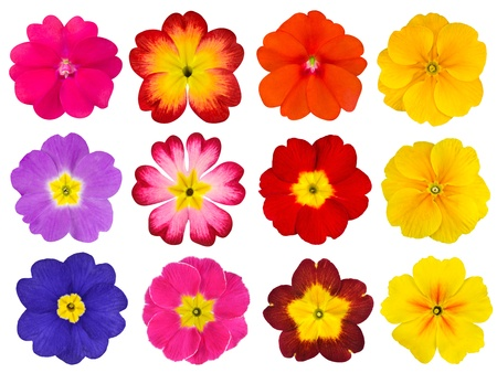primrose: Collection of twelve colorful Primroses Isolated on White Background  Selection of the cute looking red, orange, yellow, pink, blue primrose flower