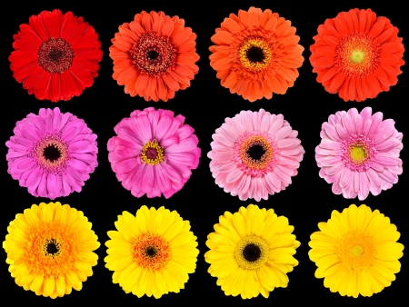 Big Collection of Fresh Orange, Red, Pink, Yellow and White Gerbera Flowers  Isolated on Black Background photo
