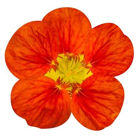 nasturtium: Red nasturtium flower Isolated on White Background