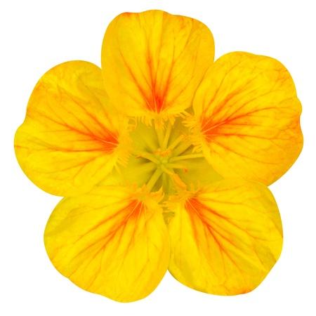 nasturtium: Yellow nasturtium flower Isolated on White Background