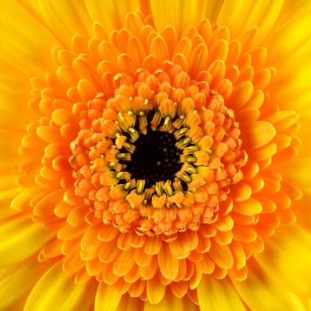 Square Gerbera Marigold Flower  Macro Closeup on Flowerhead with Orange and Black Center photo