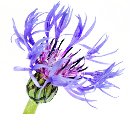 Single Blue Cornflower - Blue Centaurea cyanus Isolated on White Background photo