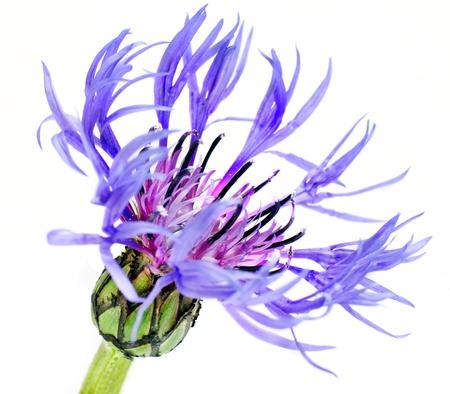 centaurea: Single Blue Cornflower - Blue Centaurea cyanus Isolated on White Background Stock Photo