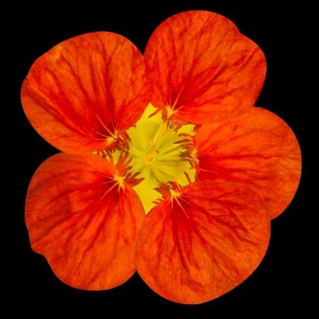 nasturtium: Red nasturtium flower Isolated on Black Background Stock Photo