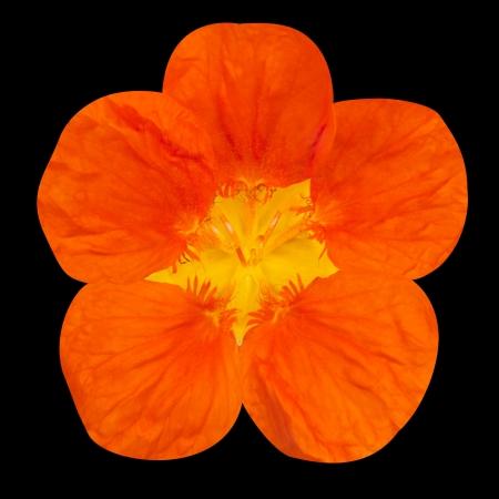 nasturtium: Orange nasturtium flower Isolated on Black Background