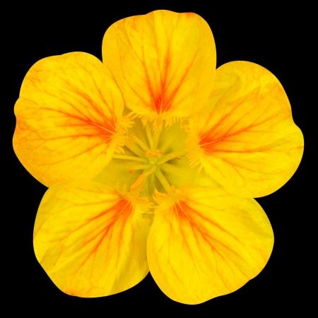 nasturtium: Yellow nasturtium flower Isolated on Black Background
