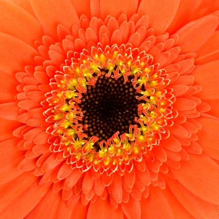Square Orange Gerbera Marigold Flower Center Macro Stock Photo - 20350741
