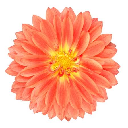 garden marigold: Light Red Pot Marigold Gerbera Flower Isolated on White Background