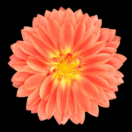 Light Red Pot Marigold Gerbera Flower Isolated on Black Background photo
