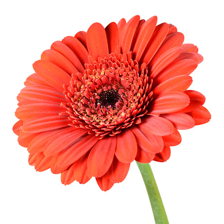 orange gerbera: Red Gerbera Flower with Green Stem Isolated on White Background
