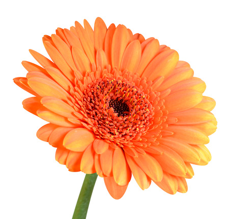 orange gerbera: Orange Gerbera Flower with Green Stem Isolated on White Background Stock Photo