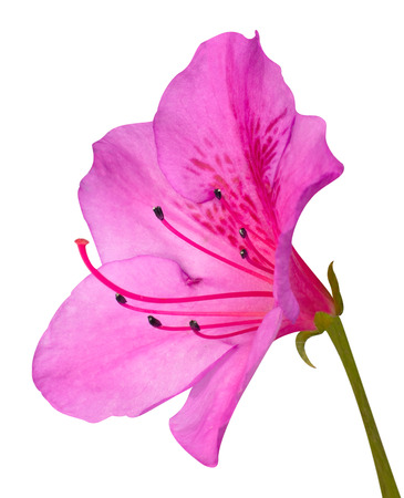 Pink Azalea Blossom Macro with Green Stem Isolated on White Background 스톡 콘텐츠