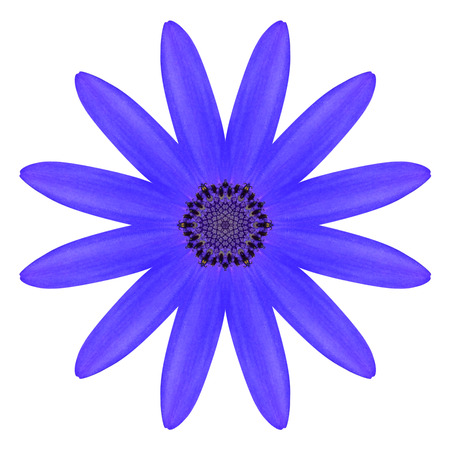 flowerhead: Blue Osteospermum Daisy Flower Kaleidoscope Isolated on White Background Stock Photo