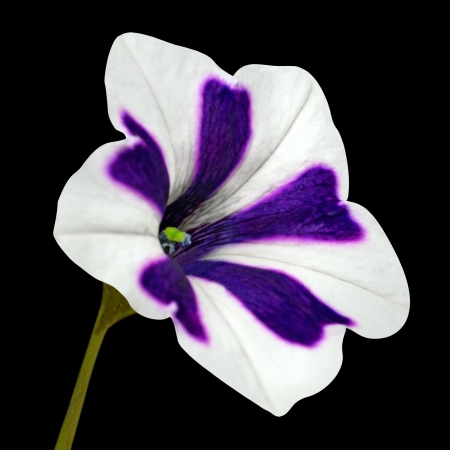 morning glory: Star Shaped Morning Glory Flower with White and Purple Stripes. Isolated on Black Background