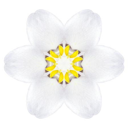 White Concentric Trillum Flower Isolated on Plain Background. Kaleidoscopic Mandala Design