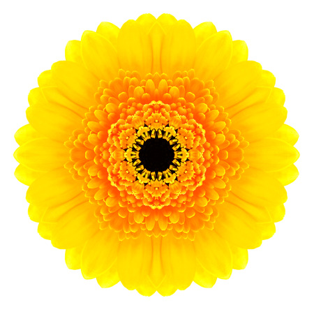 Yellow Concentric Gerbera Flower Isolated on White Background. Kaleidoscopic Mandala Design photo