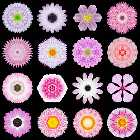 Big Collection of Various Pink Flowers. Kaleidoscopic Mandala Patterns Isolated on Black Background. Concentric Rose, Daisy, Primrose, Sunflower, Carnation, Marigold, Gerber, Dahlia Zinnia Flowers in Purple and Pink colors. photo