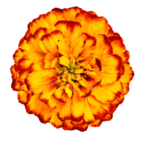 gradually: Orange yellow marigold flower, petals with gradients effect, the orange color gradually becomes yellow. Isolated on white background