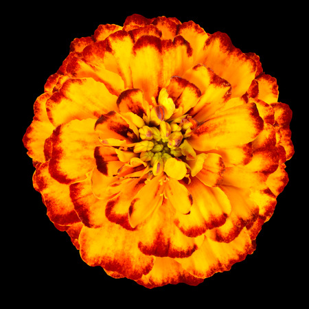 gradually: Orange yellow marigold flower, petals with gradients effect, the orange color gradually becomes yellow. Isolated on black background