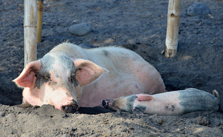 Farm Pig with a piglet resting and sleeping in a mud and shade photo