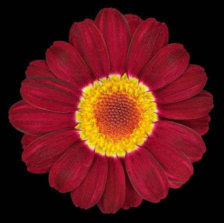 Dark Red Gerbera Flower Closeup Isolated on Black Background photo