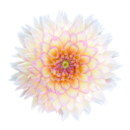 georgina: White Chrysanthemum Flower with Purple Center Isolated over White Background. Beautiful Dahlia Flowerhead Macro