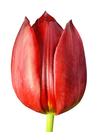 flowerhead: Red Tulip Flowerhead Macro Close-up Isolated on white background.