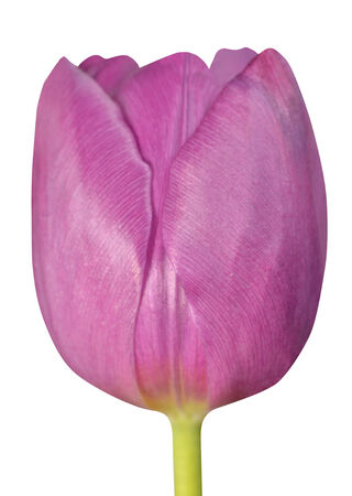 flowerhead: Pink Tulip Flowerhead Macro Close-up Isolated on white background. Stock Photo
