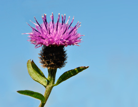 Thistle Flower isolated isolated on Blue background. Scottish national flower