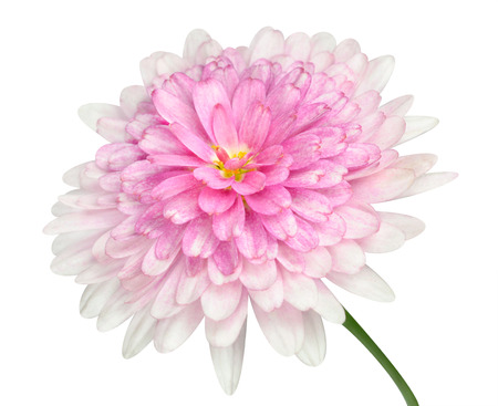 matricaria recutita: Pink Dahlia Flower with large center and green stick  Isolated on white background Stock Photo