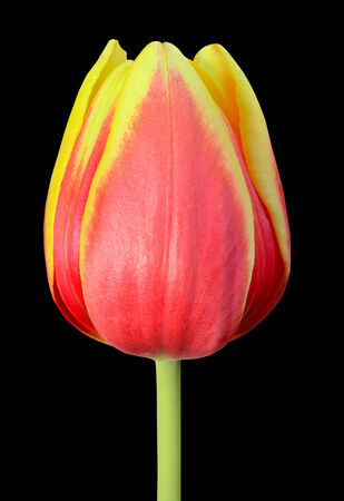 flowerhead: Tulip Flowerhead Macro Close-up Isolated on Black background. Yellow Red colors