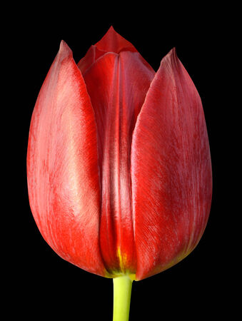 flowerhead: Red Tulip Flowerhead Macro Close-up Isolated on black background. Stock Photo