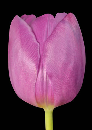 flowerhead: Pink Tulip Flowerhead Macro Close-up Isolated on Black background.