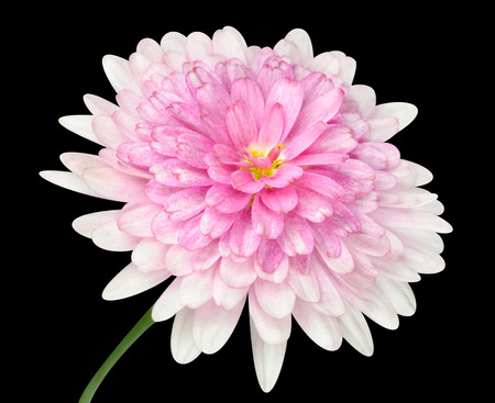 matricaria recutita: Pink Dahlia Flower with large center and green stick  Isolated on Black background Stock Photo