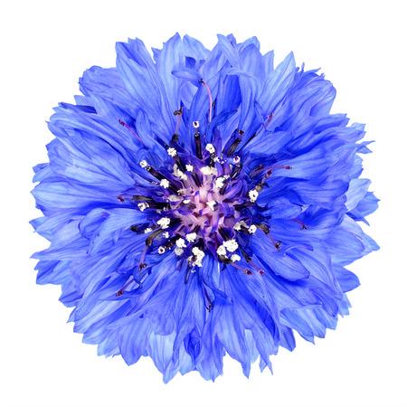 Azul aciano flor aislada sobre fondo blanco. Centaurea cyanus flowerhead de flores silvestres en el fondo plano Foto de archivo - 32567680