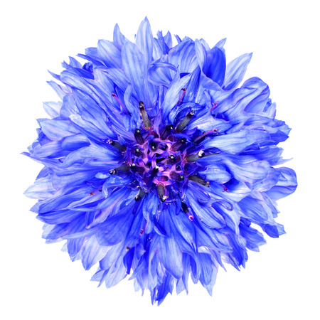 flowerhead: Blue Cornflower Flower Isolated on White Background . Centaurea cyanus flowerhead wildflower on plain background Stock Photo