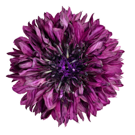 flowerhead: Purple Cornflower Flower Isolated on White Background. Centaurea cyanus flowerhead wildflower on plain background