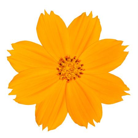 yellow wildflowers: Yellow Singapore Daisy Wildflower Flower Isolated on White Background Stock Photo